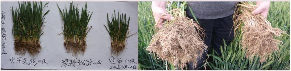 2008年,睢阳区冯桥乡万博manbetx官网电脑促根剂在小麦试验对比